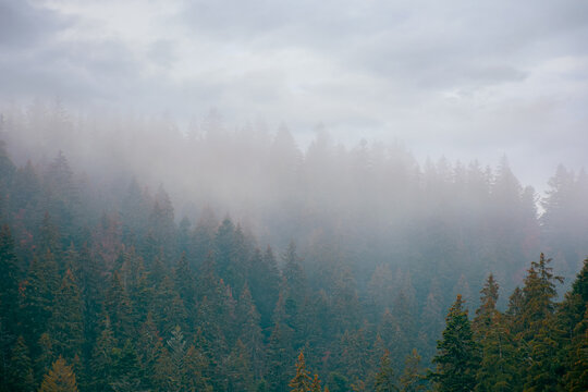 coniferous forest on a foggy day. green nature background with autumnal grey sky. mysterious atmosphere