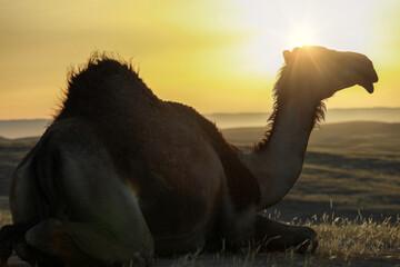Camel standing on Desert land at Sunrise.