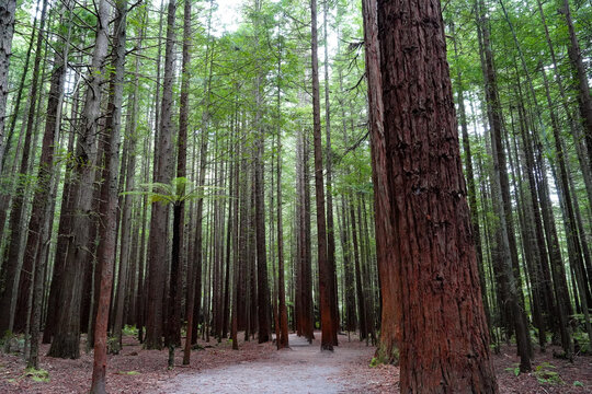 Redwood forest in the tourist town of Rotorua, New Zealand