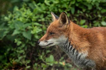 Fototapeta premium Stunning vibrant portrait of Red Fox Vulpes Vulpes with lush green background