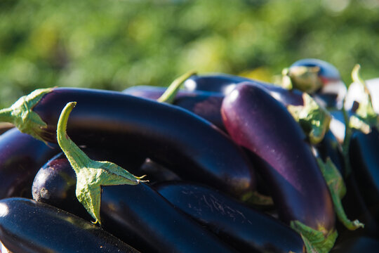 Ripe eggplants against the background of a farmer's field