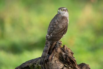 Sparrowhawk ( Accipiter nisus ) close up
