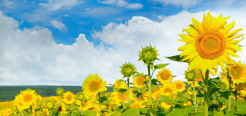 Obraz Spring landscape, field of beautiful golden sunflowers, blue sky and white clouds. Wide photo. - fototapety do salonu