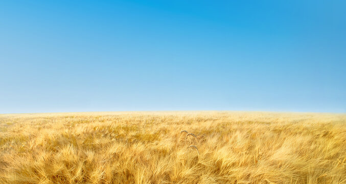 Panorama with field of ripe yellow wheat and clear blue sky. Rural landscape background
