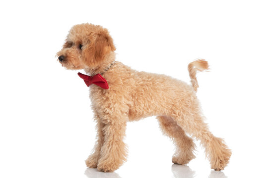 small caniche dog standing and looking to the side