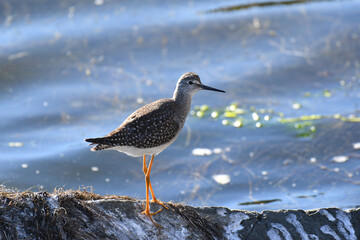 Fototapeta Greater Yellowlegs standing up on a rock on the shore of a marsh obraz