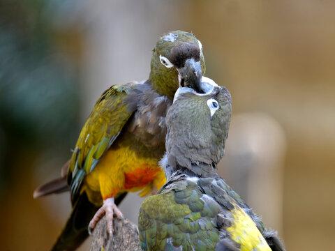 Two Burrowing Parrots (Cyanoliseus patagonus) beaking each other