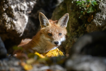 Fototapeta premium Red fox, vulpes vulpes in forest. Close little wild predators in natural environment