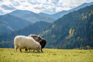 Mountain sheep grazing on pasture in autumn
