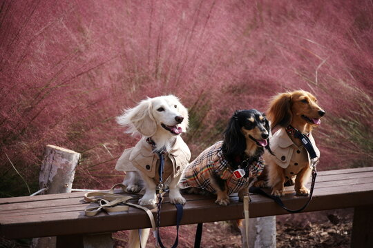 Dogs pose for a photograph in a pink muhly grass field at a park in Hanam