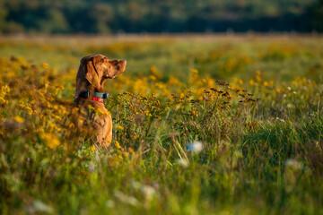 Beautiful male hungarian vizsla hunting dog outdoors portrait. Hunting dog stalking prey on a sunny autumn evening.