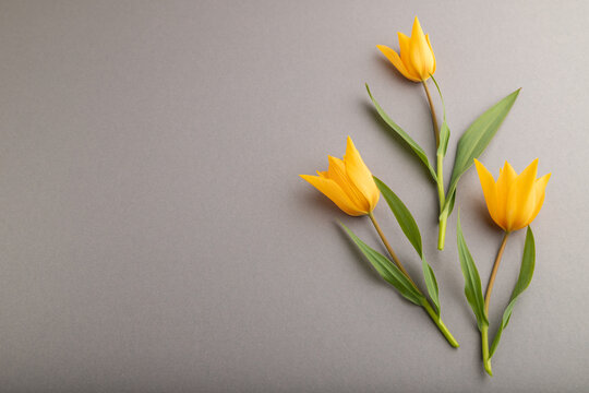 Orange tulip flowers on gray pastel background. side view, copy space.