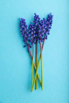 Muscari or murine hyacinth flowers on blue pastel background. top view, close up.