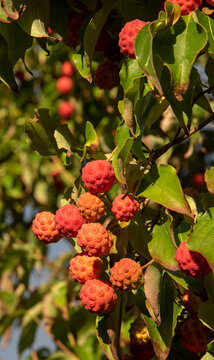 Hampshire, England, UK. 2021. Dogwood tree and ripe fruit ready for picking in an English country garden in late summer.