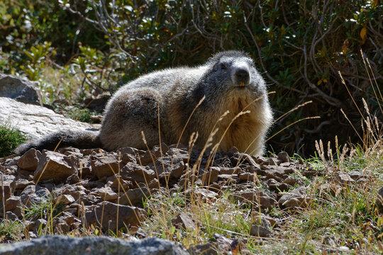 Alpine Marmot (Marmota marmota) in Pyrenean mountains