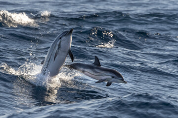 striped Dolphin while jumping in the deep blue sea near Genoa harbor italy