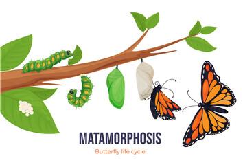 Obraz Cartoon butterfly life cycle metamorphosis vector flat illustration. Steps winged insect development - fototapety do salonu