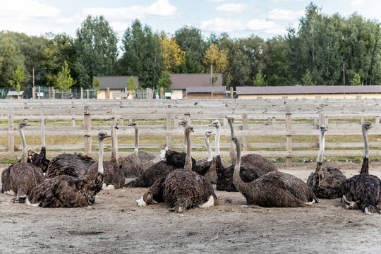Many big african ostrich birds walking in paddock with wooden fence on poultry farm yard against blue sky on sunny day. Flock of curious hungry flightless bird