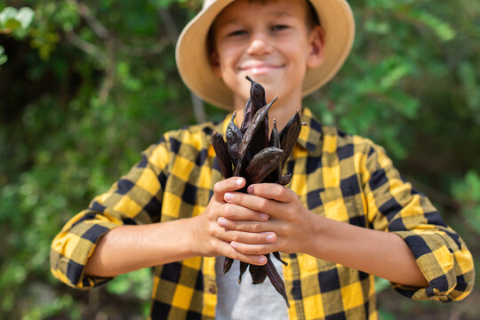 Young boy holding in hands carob pods during harvesting season