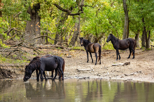 Wild horses drinking in Letea forest