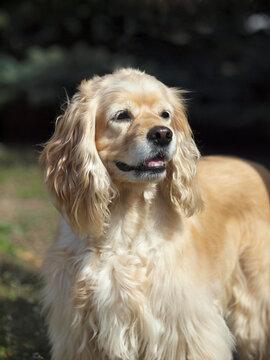 Portrait of cream cocker spaniel on a natural dark background