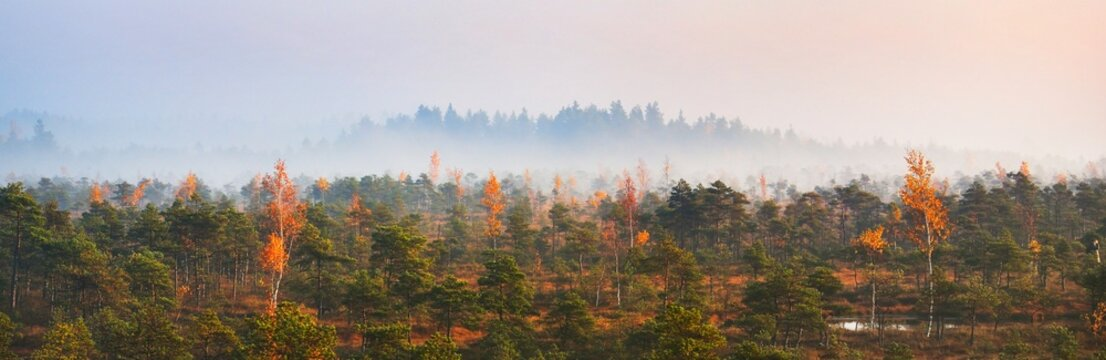 Aerial view of the swampy young pine tree forest in a morning fog at sunrise. Pure golden sunlight. Idyllic autumn landscape. Kemeri national park, Latvia. Environmental conservation theme