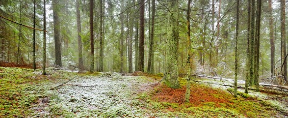 Obraz Pathway through the hills of majestic northern evergreen forest. Golden leaves, mighty pine and spruce trees, tree logs, hoarfrost, first snow. Panoramic view. Atmospheric landscape. Nature, ecology - fototapety do salonu