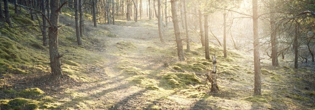 A pathway through the mossy hills of the old pine forest at sunset. Golden sun rays through the tree trunks, shadows on the ground. Early spring in Finland