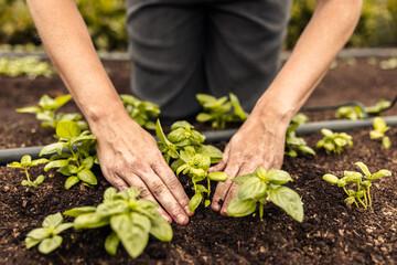 Obraz Unrecognizable female farmer planting a seedling into the ground - fototapety do salonu