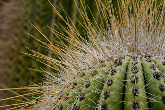 Echinocactus grusonii.This famous cactus, known as mother-in-law's seat, golden ball, golden barrel or hedgehog cactus, is a succulent cactus endemic to Mexico.