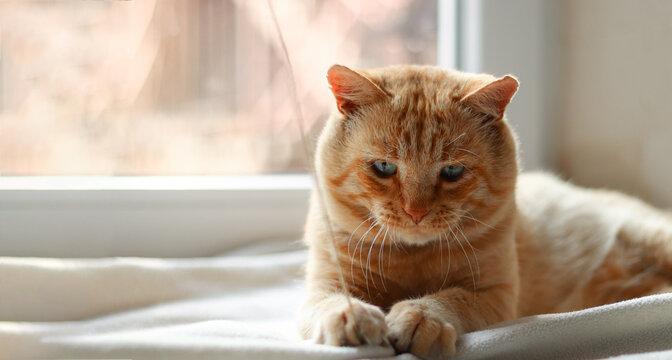 Light red cat on a white blanket, light from the window. A beautiful ginger cat lies.