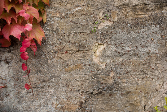 Old stone wall with red grape leaves in autumn. Wall view with stone textur and space for text. Autumen Background.