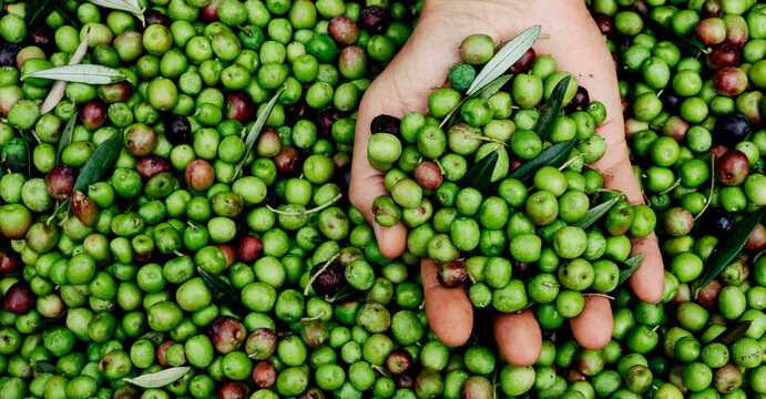 man has a bunch of olives in his hand