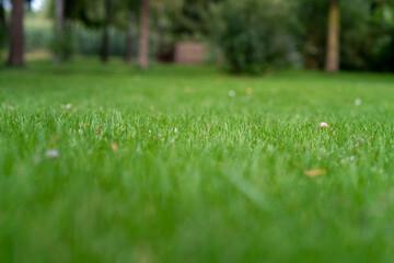 Obraz piękna zielona trawa, skoszony trawnik o poranku. - fototapety do salonu