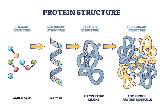 Protein structure levels from amino acid to complex molecule outline diagram. Labeled educational primary, secondary, tertiary and quaternary closeups for sequence and formation vector illustration.