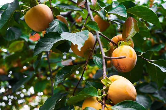 Ripe orange persimmon on persimmons tree branch with green leaves. Autumn harvest season