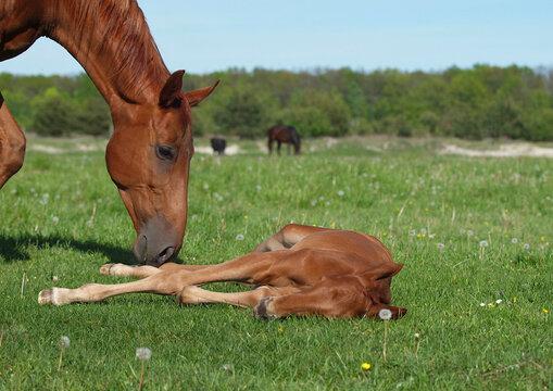Chestnut mare grazes in a meadow near a sleeping foal