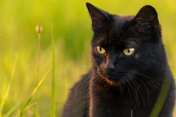 Fototapeta Czarny kot na tle trawy w promieniach zachodzącego słońca obraz
