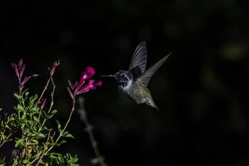 Fototapeta premium Costa's Hummingbird (Calypte costae) With Pin feathers Feeding on Scarlet Sage Blooms