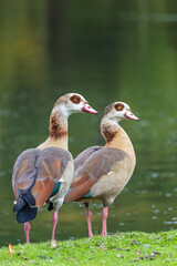 Fototapeta premium Closeup shot of Egyptian geese