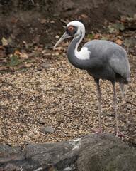 Fototapeta premium grey crowned crane