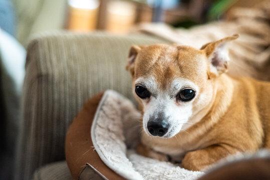 chihuahua sitting on a sofa