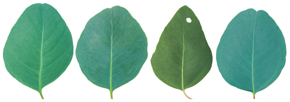 Eucalyptus leaves isolated on white background with clipping path